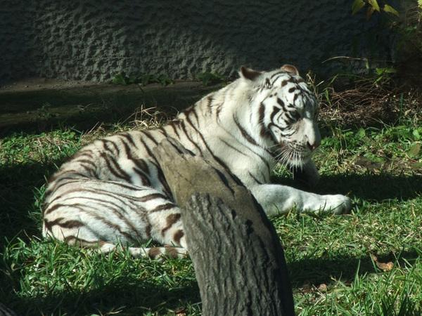 white_tiger_01.jpg
